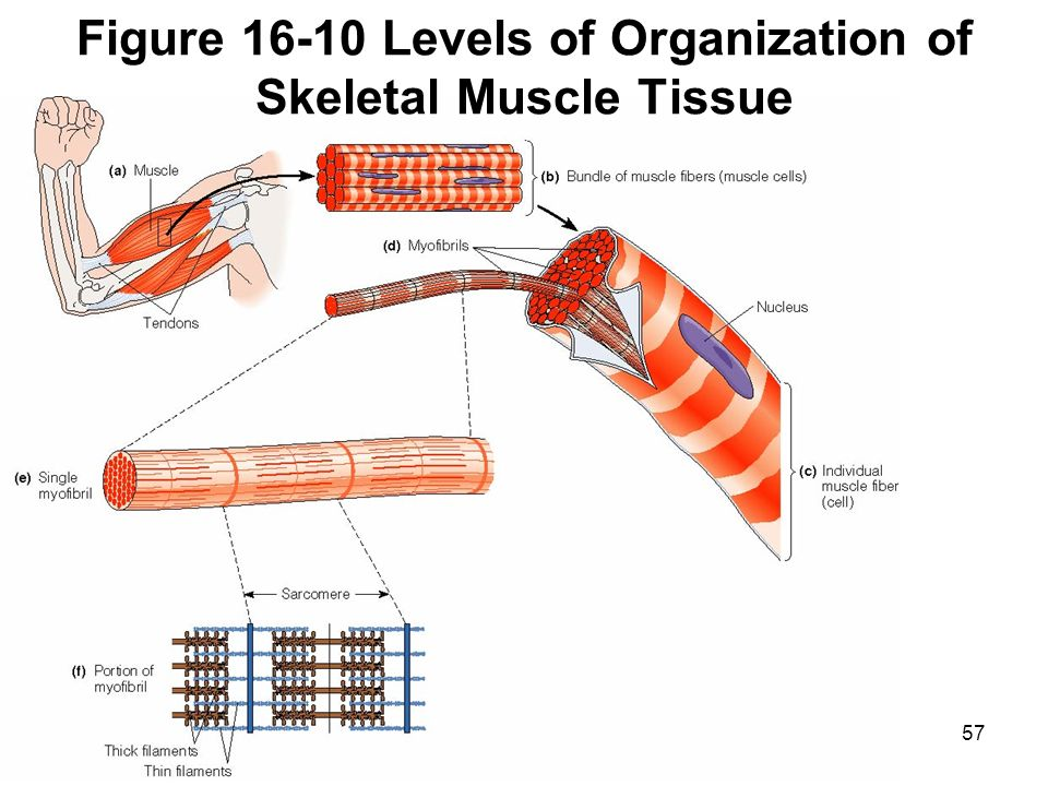 the structure of skeletal muscle biology essay Why is the study of histology important in your overall understanding of  such as skeletal muscle  important in your overall understanding of anatomy.