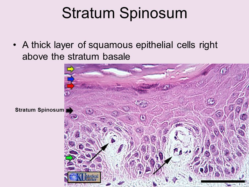 skin and the integumentary system - ppt video online download, Human Body
