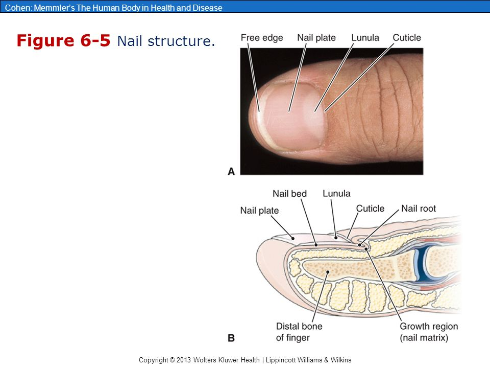 Chapter 6: The Integumentary System - ppt video online ...