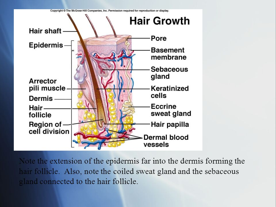 Note the extension of the epidermis far into the dermis forming the hair follicle.