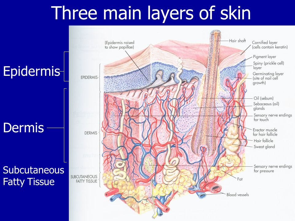 Three main layers of skin