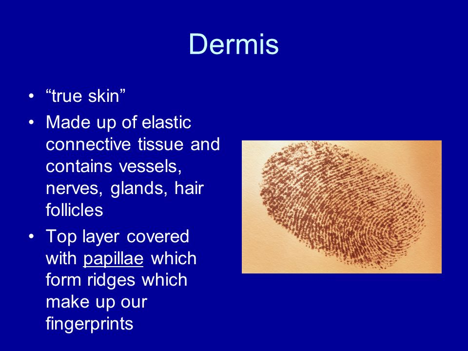 Dermis true skin Made up of elastic connective tissue and contains vessels, nerves, glands, hair follicles.