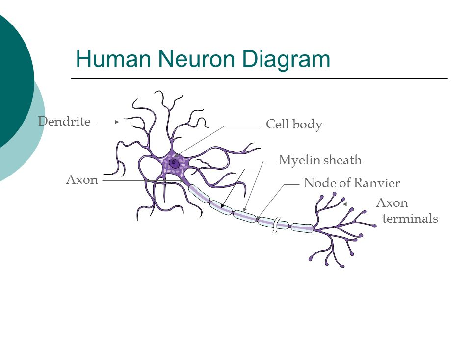 L5 human systems overview ppt download 6 human neuron diagram dendrite cell ccuart Choice Image