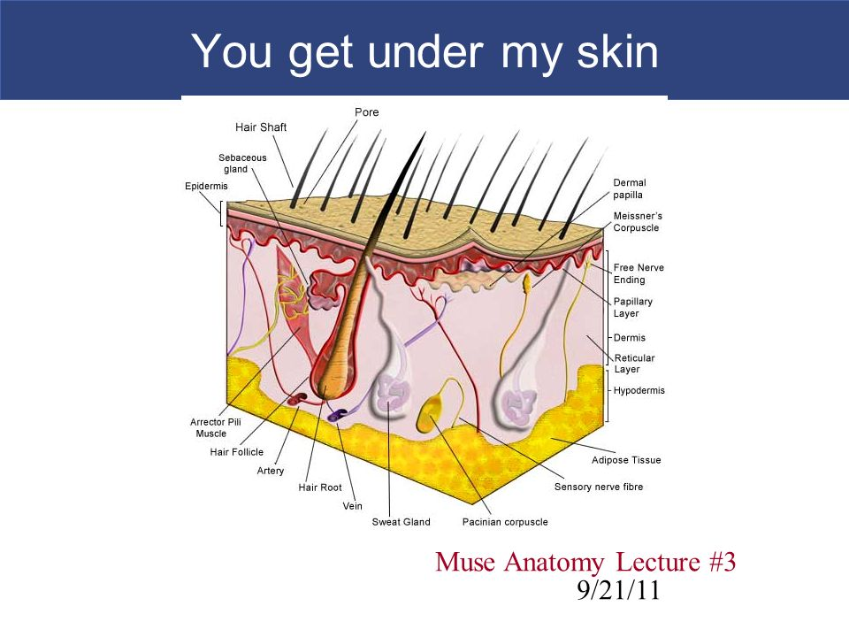 You Get Under My Skin Muse Anatomy Lecture 3 921 Ppt Video Online