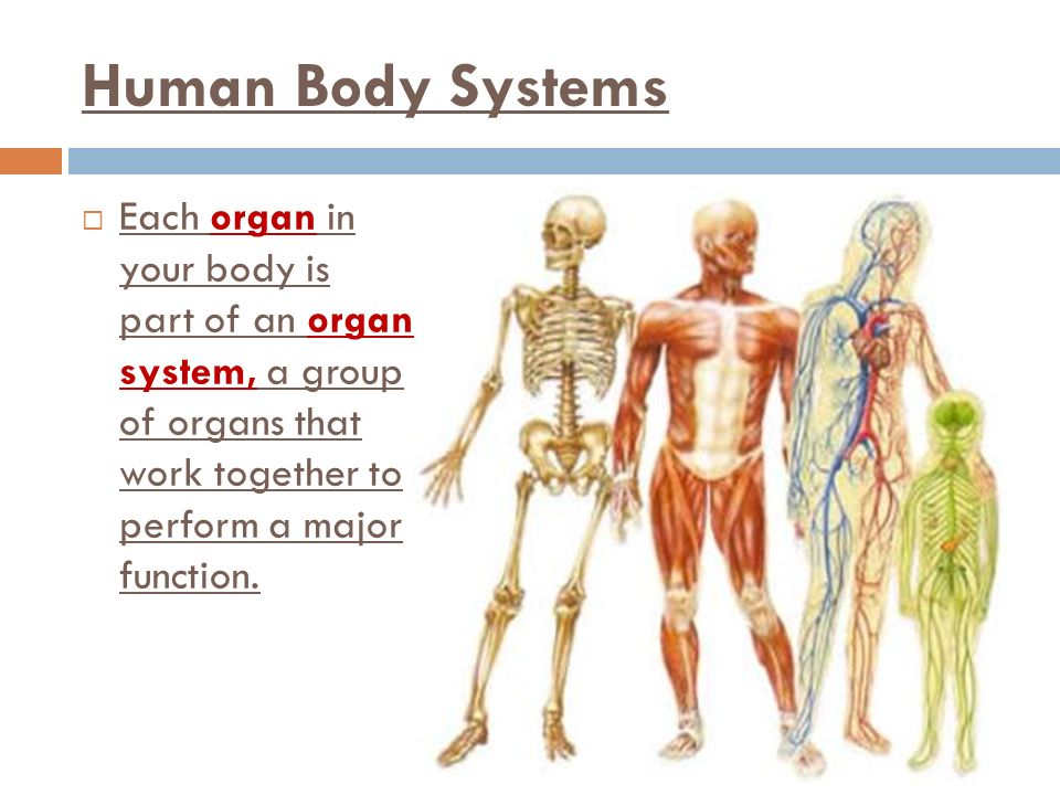 Human Body Systems Each organ in your body is part of an organ system, a group of organs that work together to perform a major function.