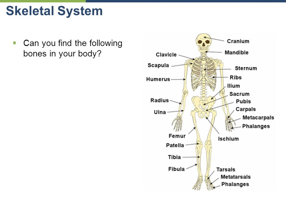Organs in your body diagram