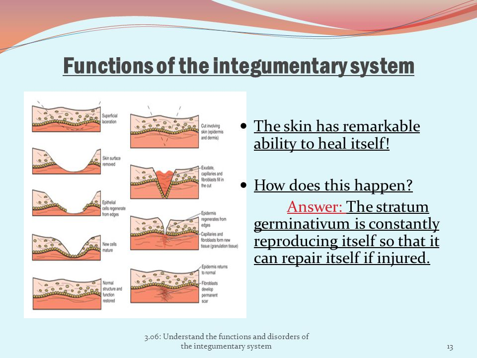 the major function of the integumentary system The integumentary system helps regulate body temperature through its tight  of  the two, sweat glands will be stimulated by the sympathetic nervous system to.