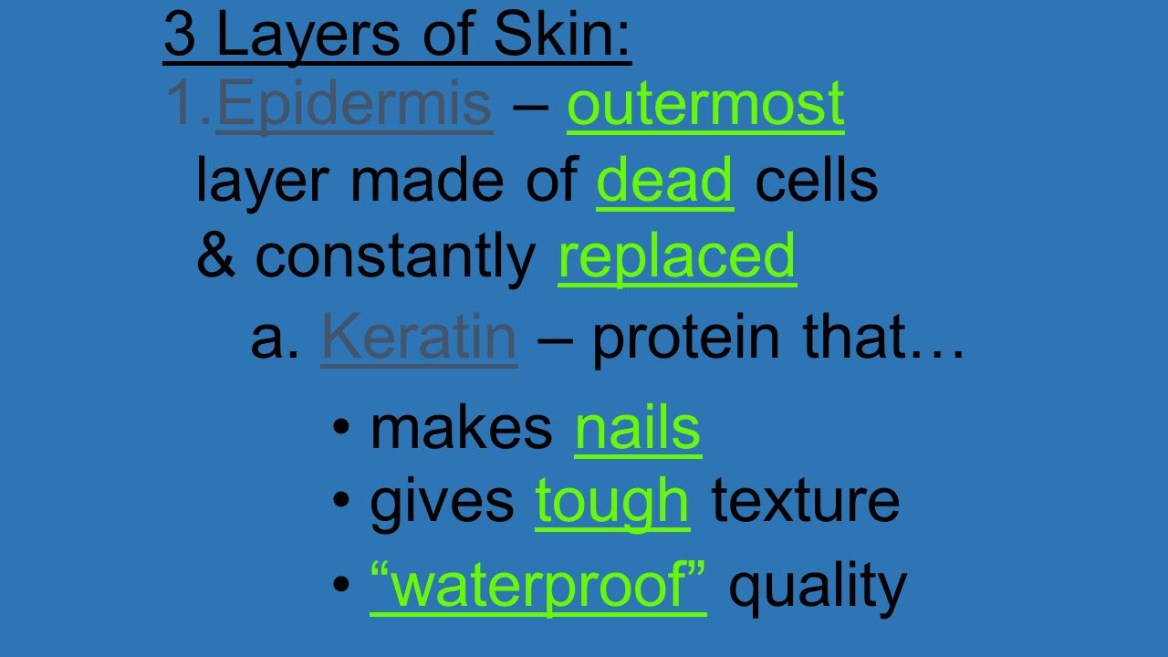 3 Layers of Skin: Epidermis – outermost layer made of dead cells & constantly replaced. a. Keratin – protein that…