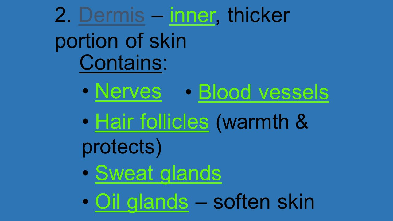 2. Dermis – inner, thicker portion of skin