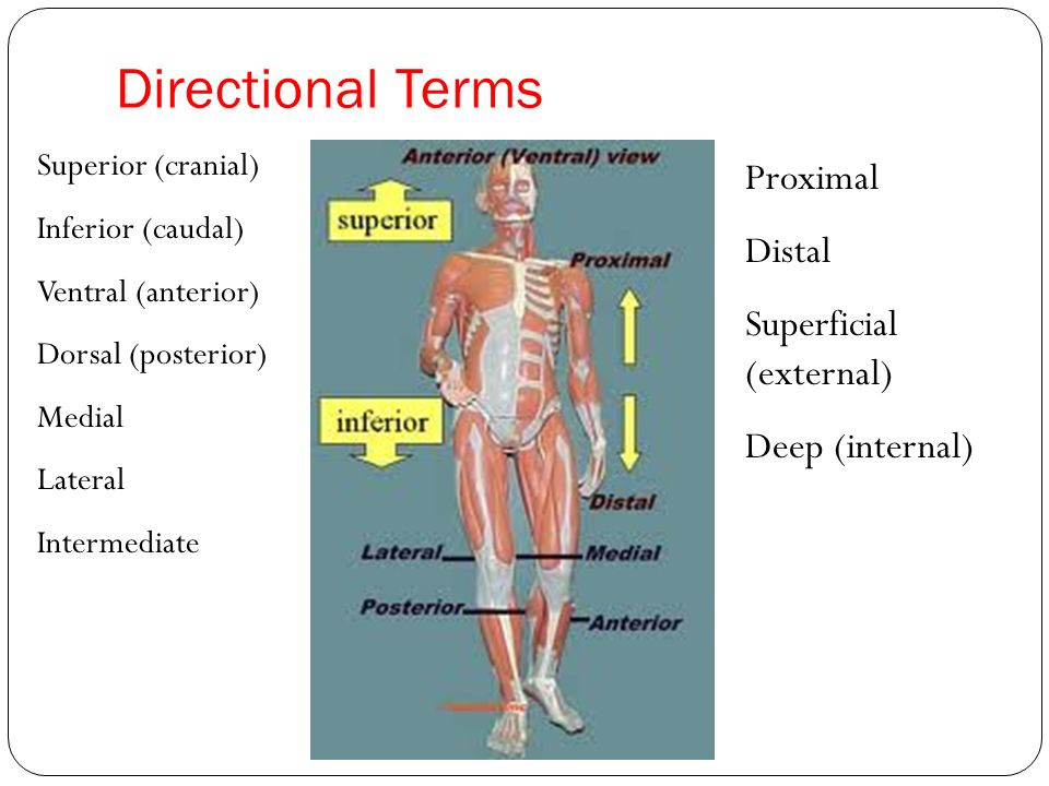 Human Anatomy Directional Terms Test | Periodic & Diagrams Science