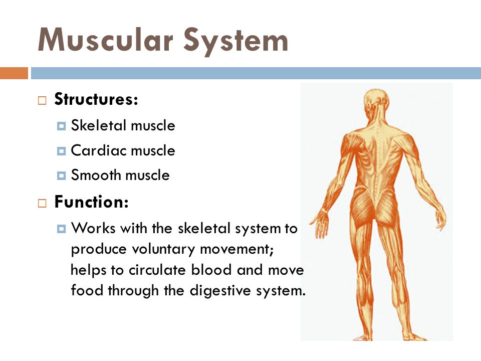 Muscular System Structures: Function: Skeletal muscle Cardiac muscle