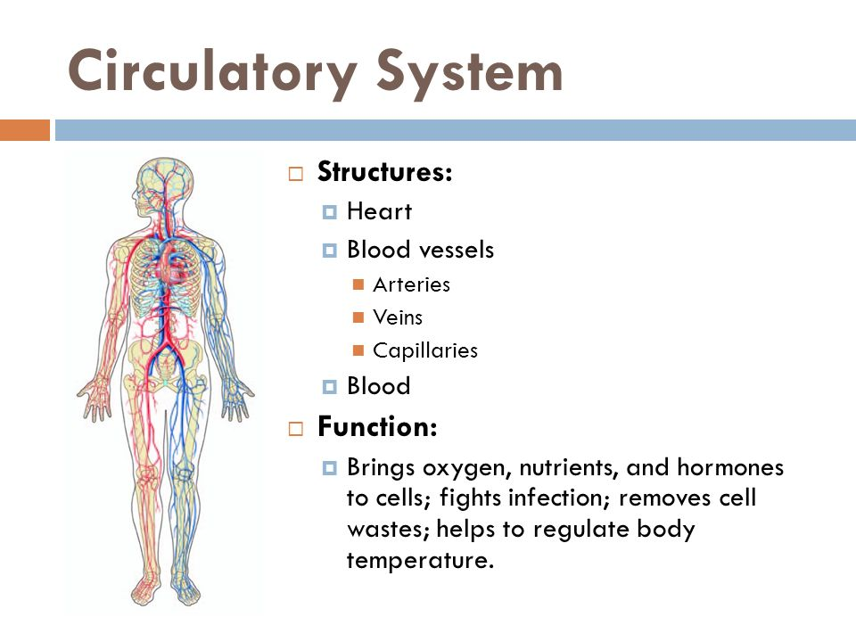Circulatory System Structures: Function: Heart Blood vessels Blood