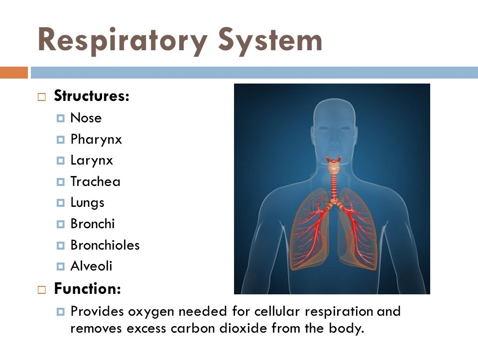 Respiratory System Structures: Function: Nose Pharynx Larynx Trachea