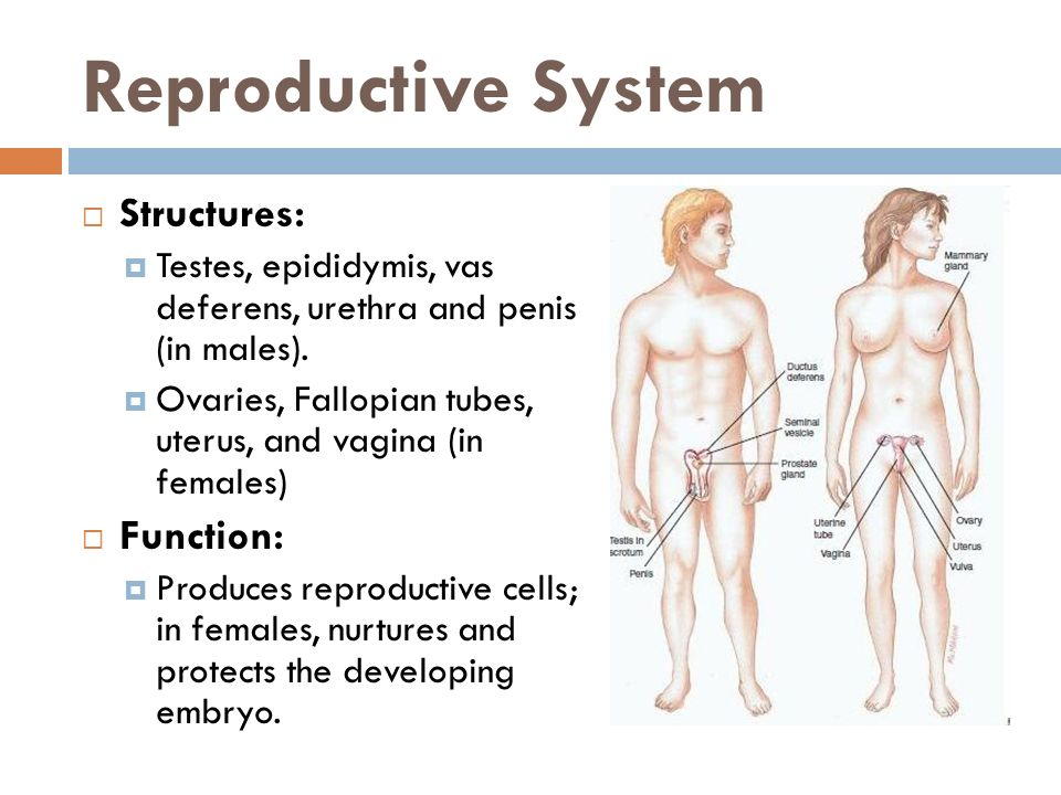 Reproductive System Structures: Function: