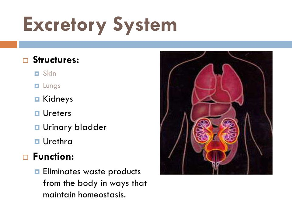 Excretory System Structures: Function: Kidneys Ureters Urinary bladder