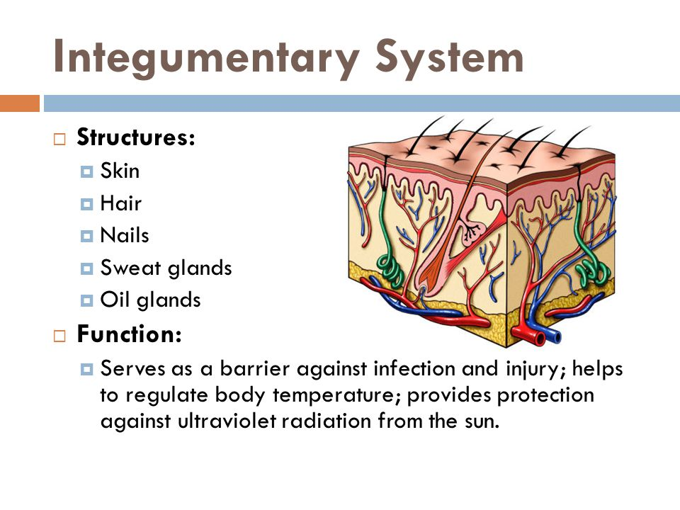 Integumentary System Structures: Function: Skin Hair Nails
