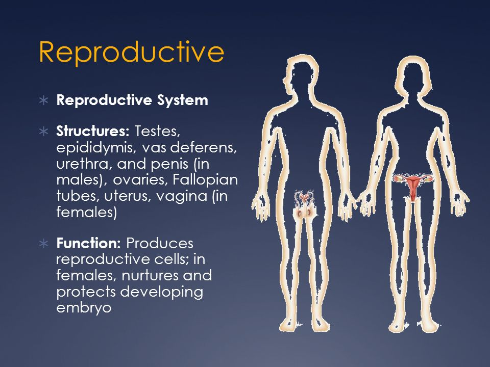 Reproductive Reproductive System