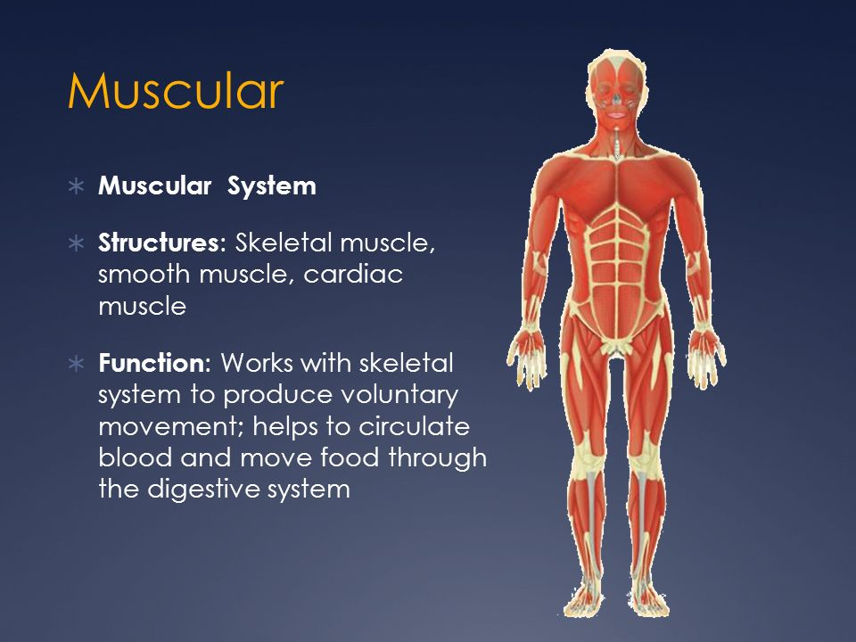 Muscular Muscular System