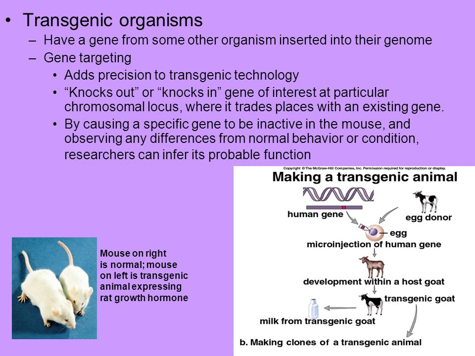 Transgenic organisms Have a gene from some other organism inserted into their genome. Gene targeting.