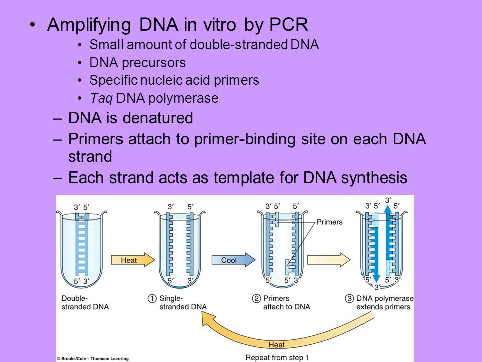 Amplifying DNA in vitro by PCR
