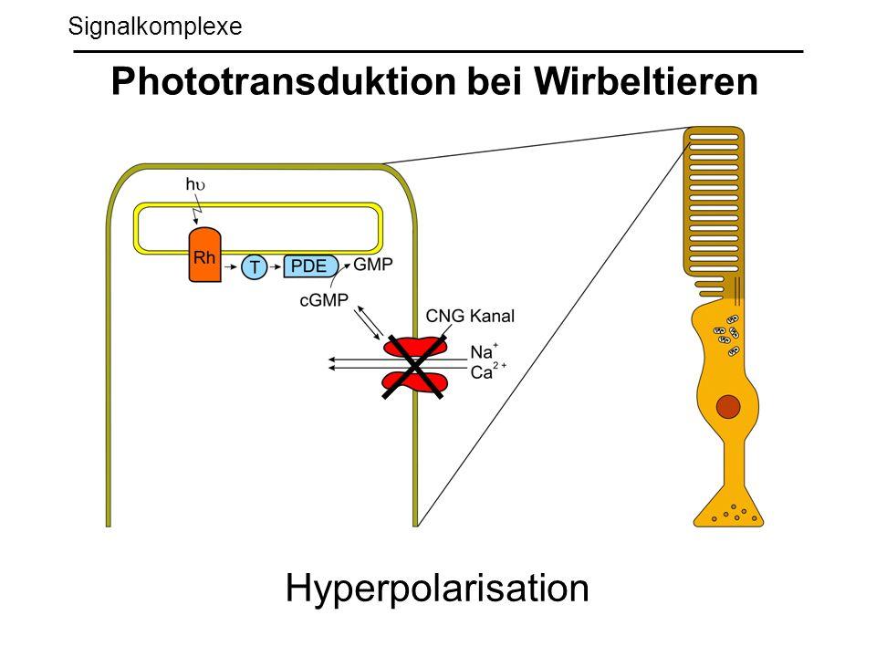Phototransduktion bei Wirbeltieren