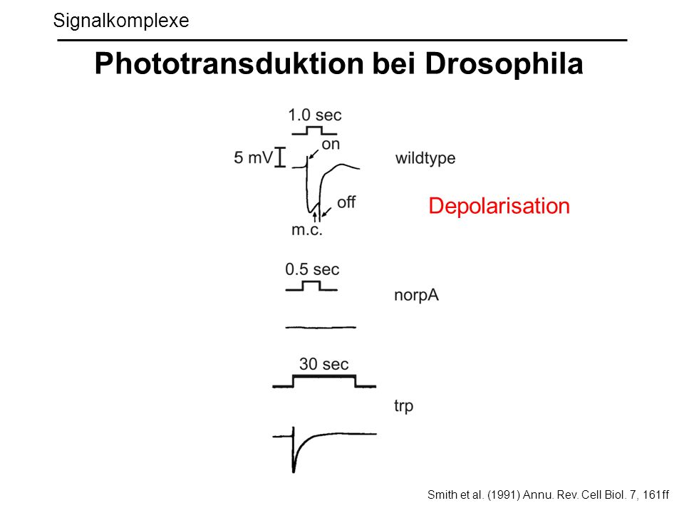 Phototransduktion bei Drosophila