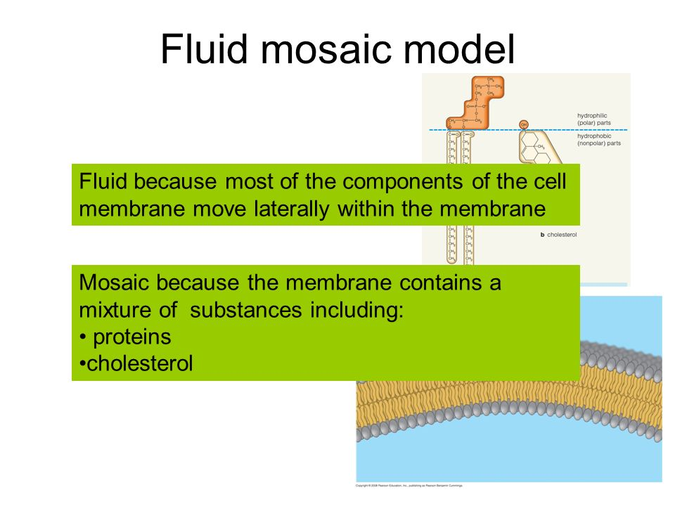 essays about fluid mosaic model