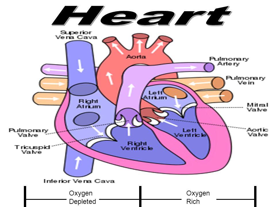 Heart Oxygen Depleted Oxygen Rich