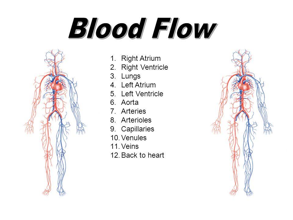 Blood Flow Right Atrium Right Ventricle Lungs Left Atrium