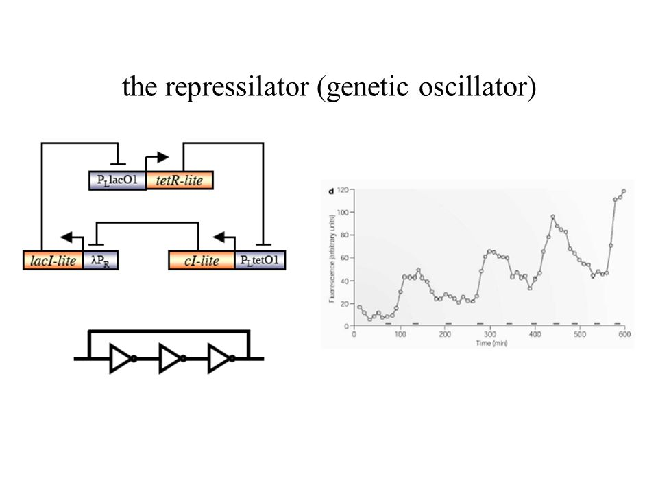 the repressilator (genetic oscillator)