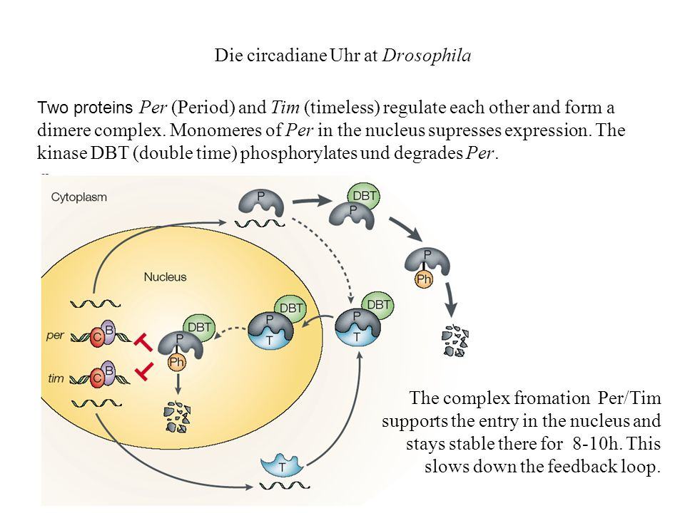 Die circadiane Uhr at Drosophila