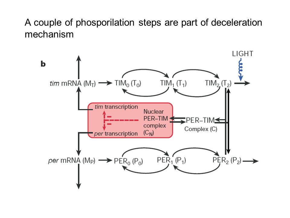 A couple of phosporilation steps are part of deceleration mechanism