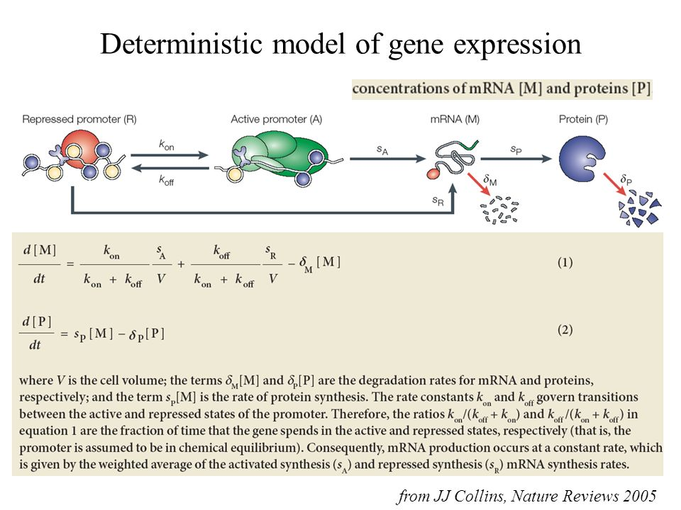 Deterministic model of gene expression