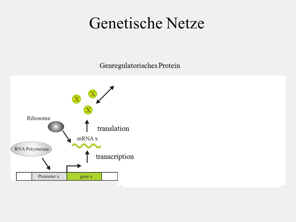 Genetische Netze Genregulatorisches Protein translation transcription