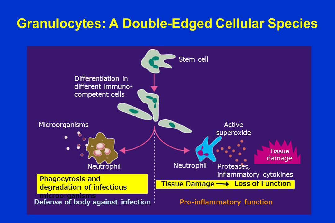 Granulocytes: A Double-Edged Cellular Species