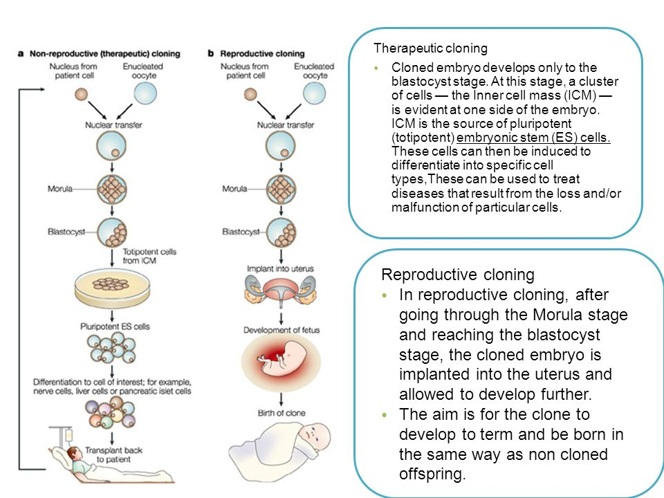 therapeutic cloning Download citation on researchgate | therapeutic cloning: promises and issues  | advances in biotechnology necessitate both an.