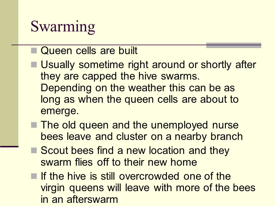 Swarming Queen cells are built