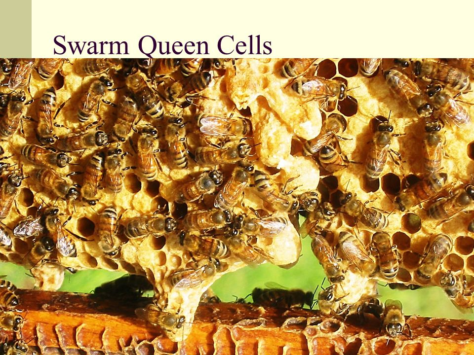 Swarm Queen Cells