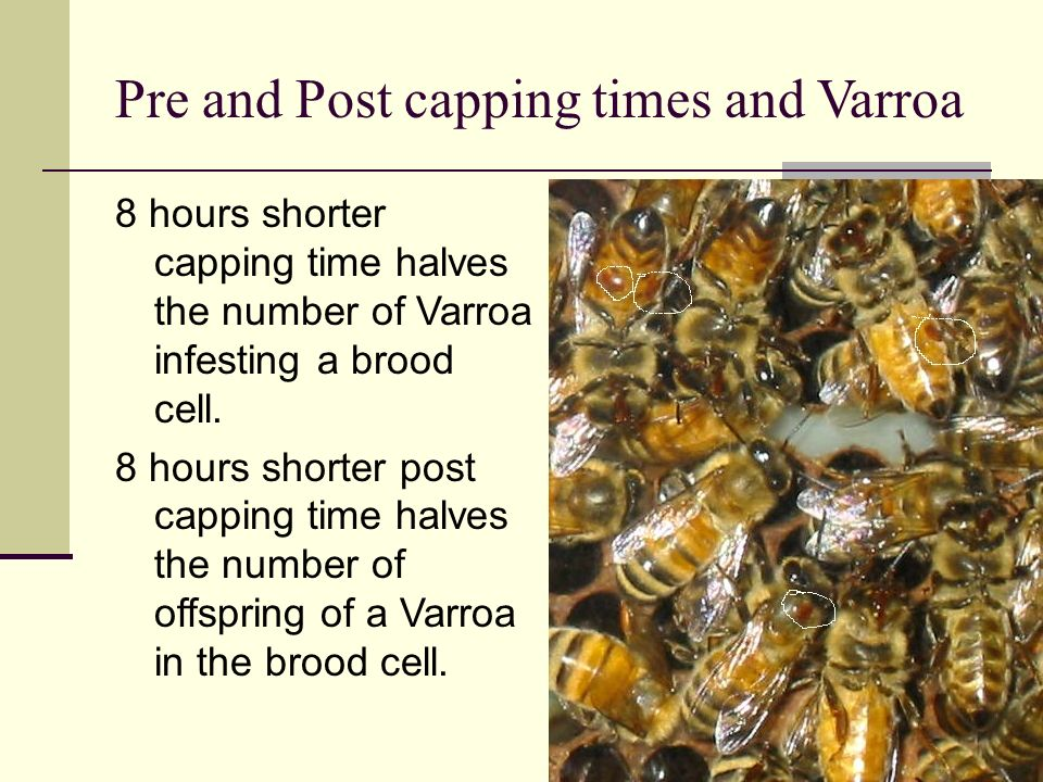 Pre and Post capping times and Varroa