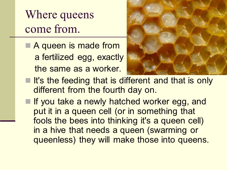 Where queens come from. A queen is made from a fertilized egg, exactly
