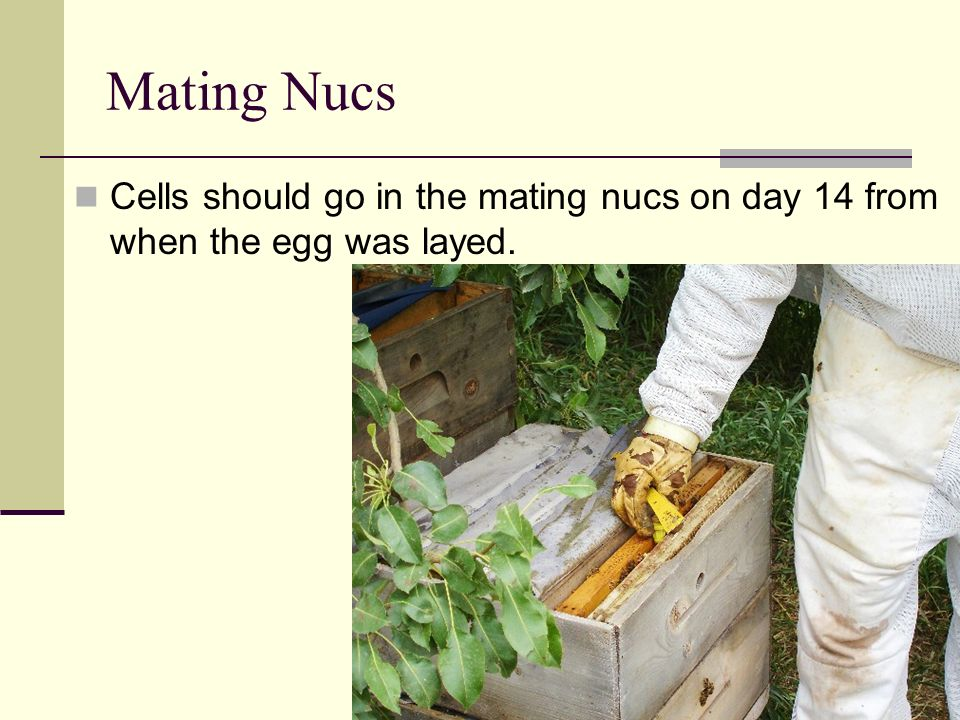 Mating Nucs Cells should go in the mating nucs on day 14 from when the egg was layed.