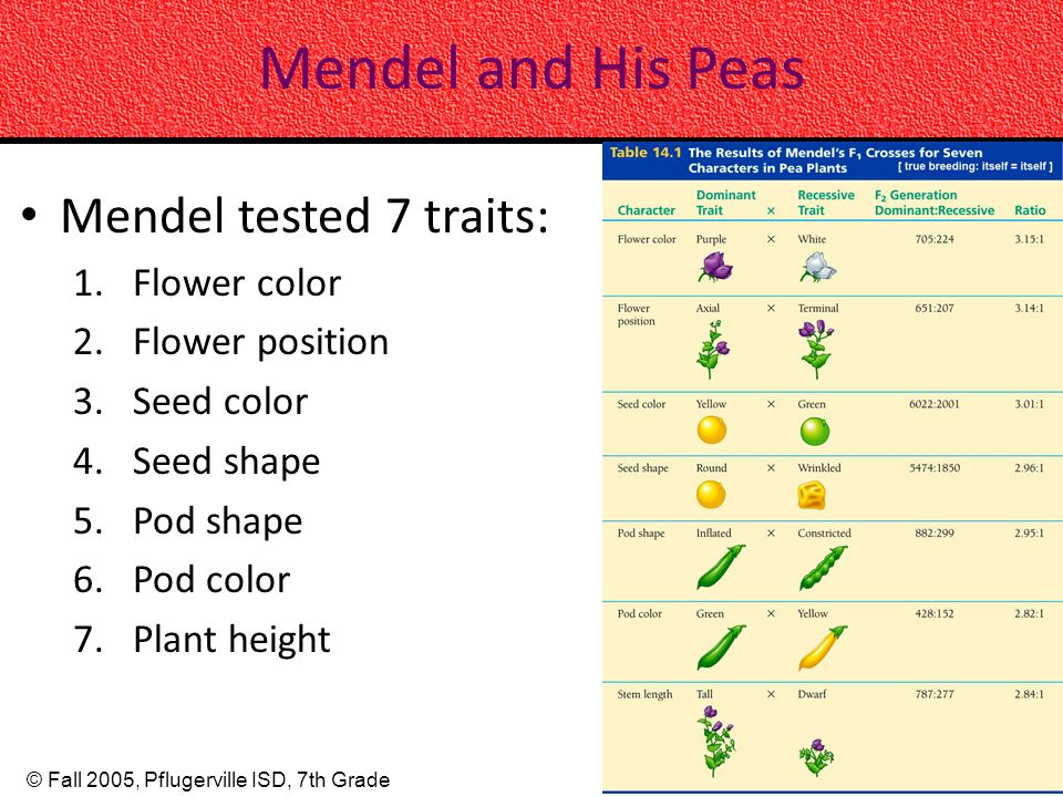 Mendel and His Peas Mendel tested 7 traits: Flower color