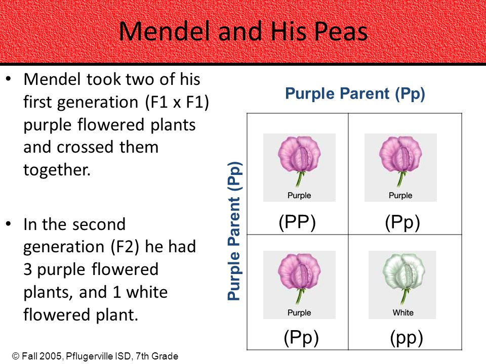 Mendel and His Peas Mendel took two of his first generation (F1 x F1) purple flowered plants and crossed them together.