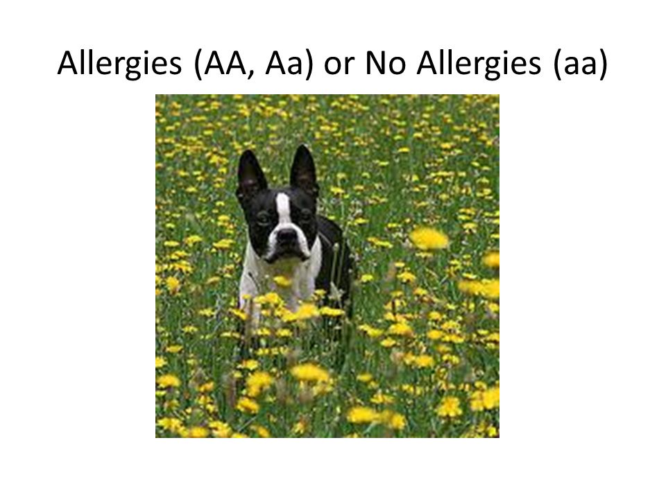 Allergies (AA, Aa) or No Allergies (aa)