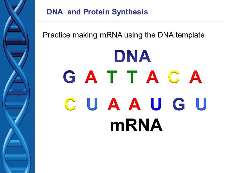 DNA G A T T A C A C U A A U G U mRNA