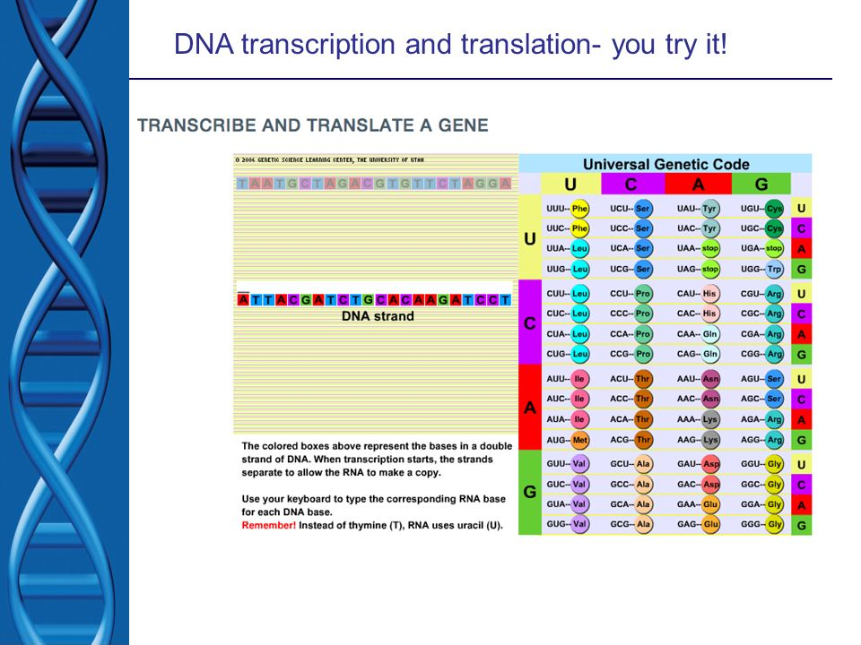DNA transcription and translation- you try it!