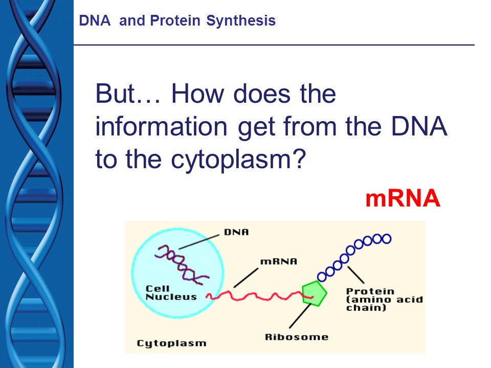 But… How does the information get from the DNA to the cytoplasm
