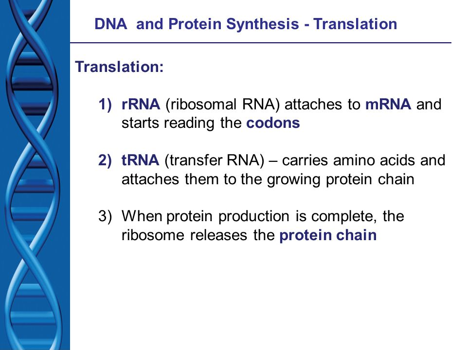 DNA and Protein Synthesis - Translation