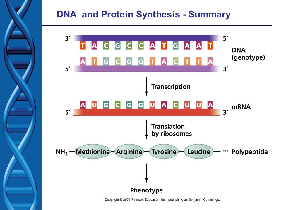 DNA and Protein Synthesis - Summary