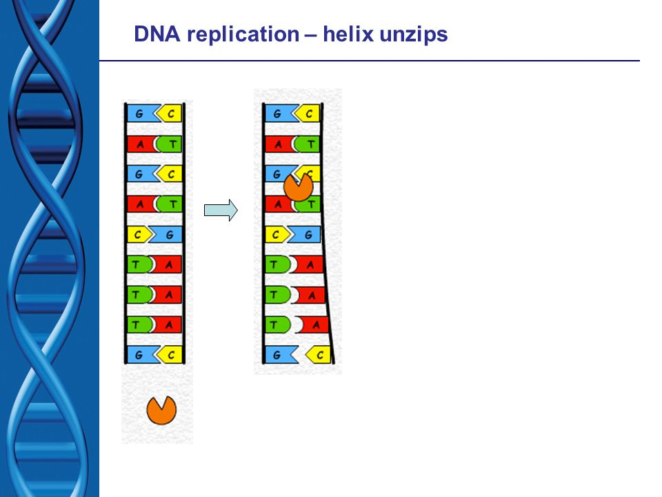 DNA replication – helix unzips